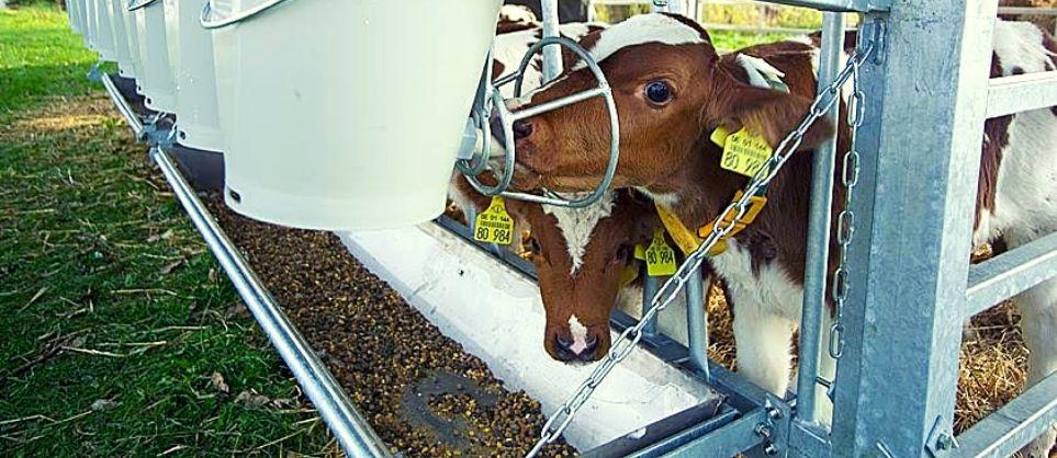 Sveikas veršelis – pelninga karvė. Išbaigti sprendimai ir produktų linija veršeliams.